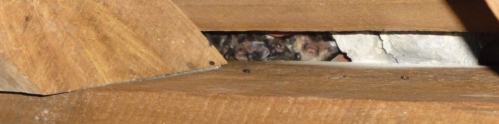 Cluster of brown long eared bats